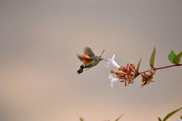 Overwinterende kolibrievlinders
