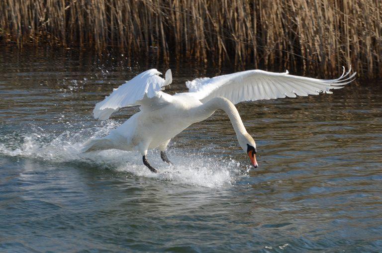 Wat een vraag: wat is de grootste vogel van Nederland?
