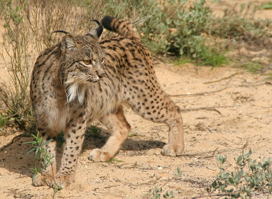 Leefgebied van Iberische lynx wordt bedreigd