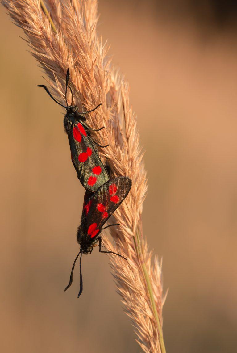 Zo fotografeer je de schitterende Sint-jansvlinders