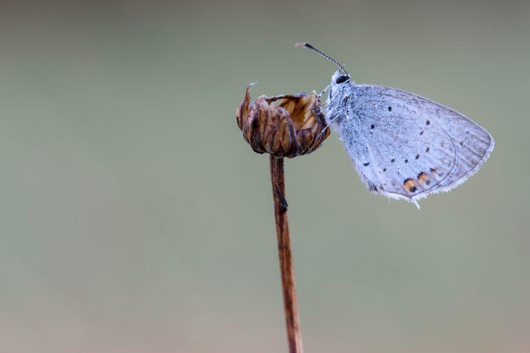 Gespot en gefotografeerd: een staartblauwtje