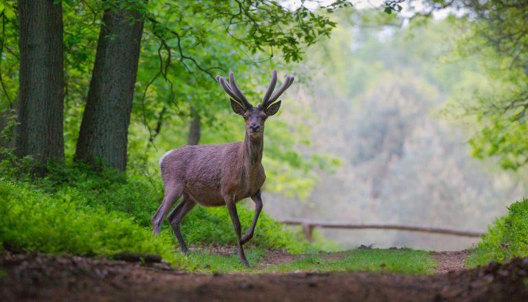 Terug van weggeweest: het edelhert in Brabant