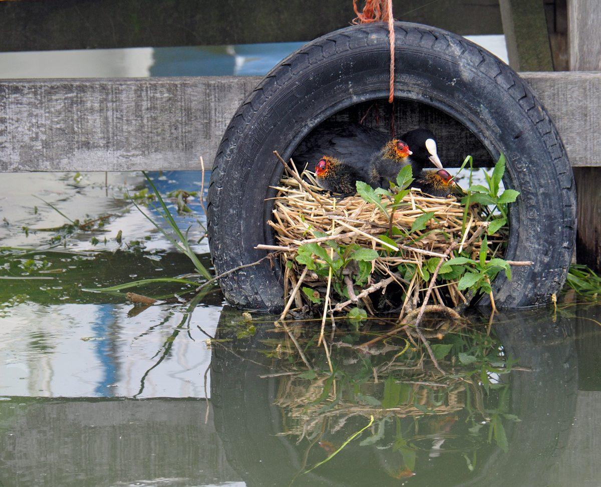 meerkoet nest
