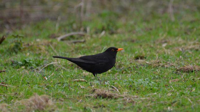 De top 10 meest voorkomende vogels in Nederland