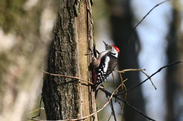 Roots-BirdingBreaks Spechtenspecial