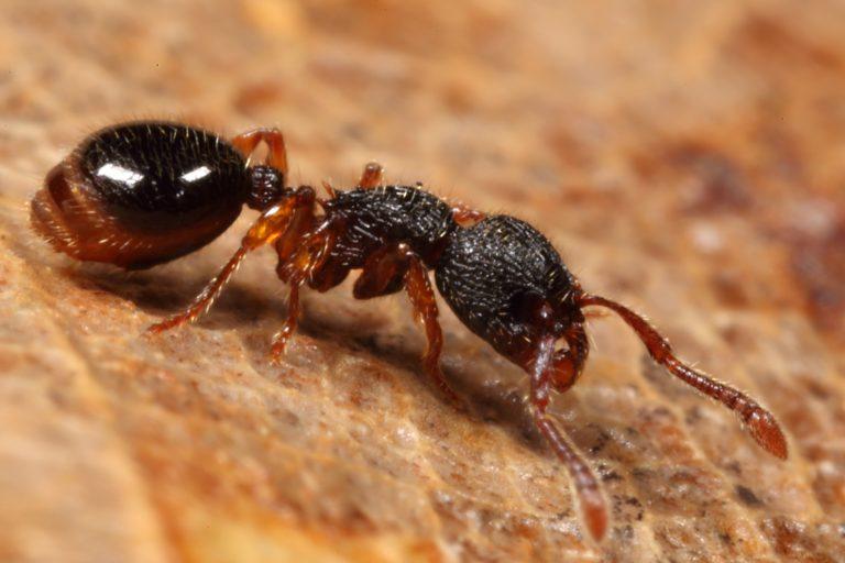 Sterk staaltje ontsnappingskunst: deze mieren rollen weg bij gevaar