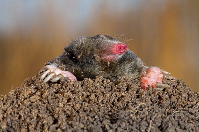 Meer dan 50.000 molshopen geteld in het Mollenweekend