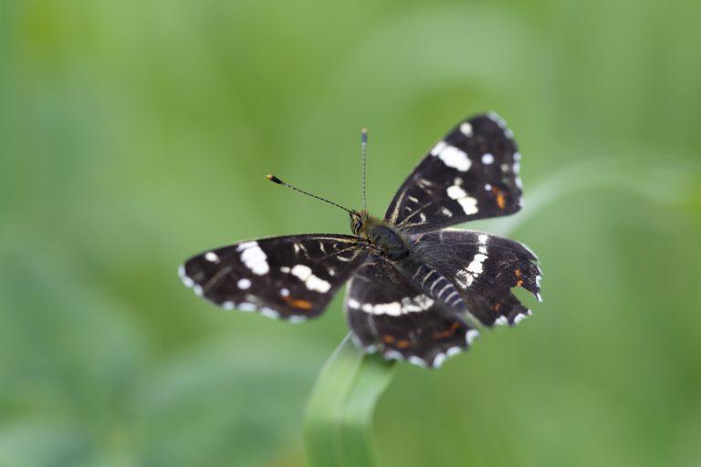 Nieuwe wandeling: vlinders vinken in de duinen bij Heemskerk