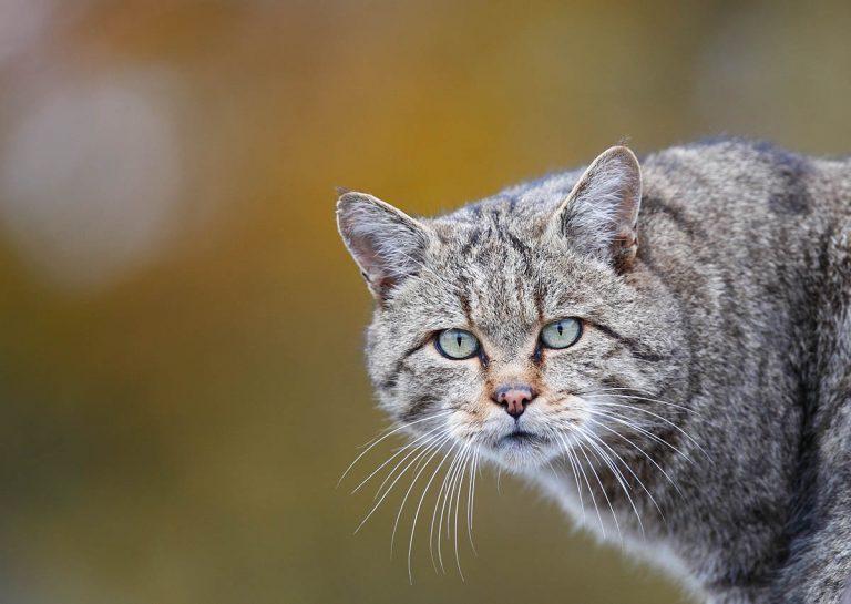 Wilde kat begint Nederland te ontdekken