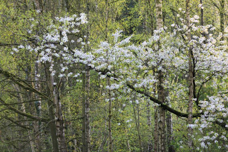 Nieuwe wandelroute: voorjaar in het Harderbos in Flevoland