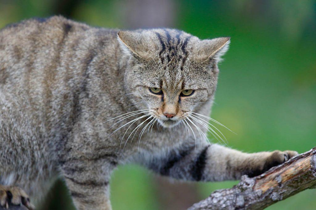 Huiskat in de natuur for Kattenpoep in de tuin