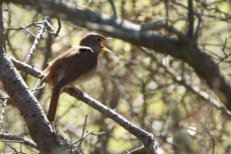 Texel vogeleiland: 123 soorten in een weekend!