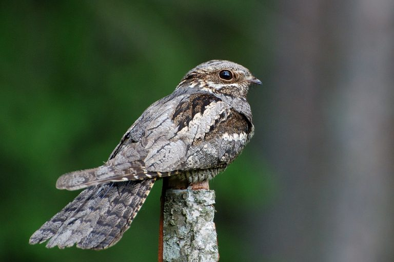 Nieuwe blog: zoeken naar nachtzwaluwen