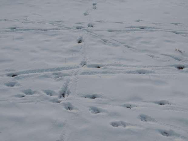 Diersporen in de sneeuw