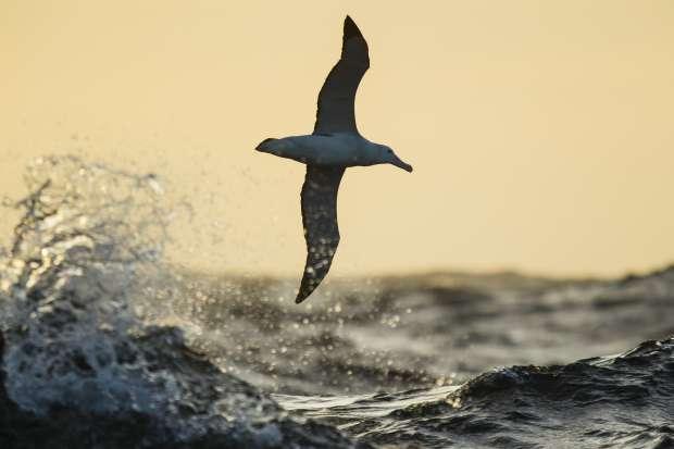 Ultieme zwever: de albastros