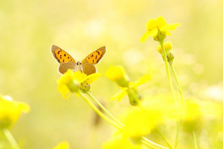Kleine vuurvlinder op een bedje van geel