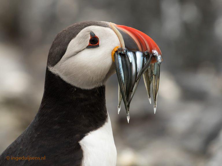Papegaaiduikers op de Farne eilanden