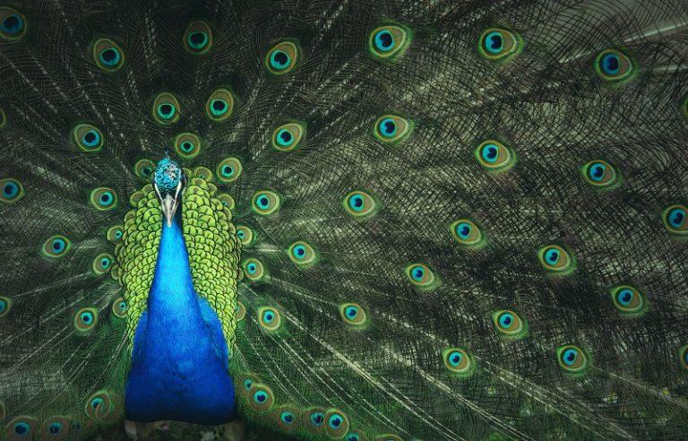 Hoe komen veren aan hun kleur?