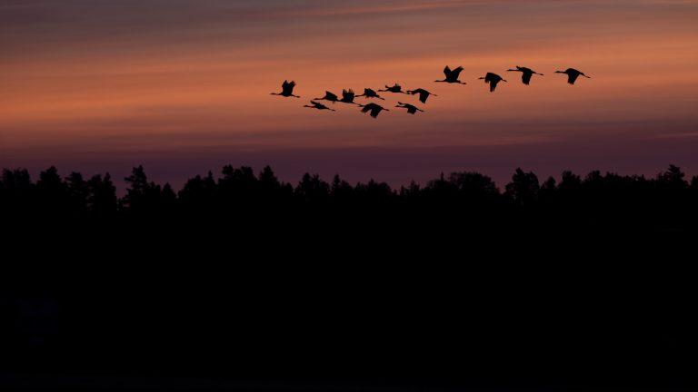 Prachtig fotografeeronderwerp: trekkende kraanvogels