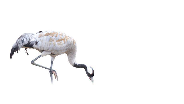 Een droomweekend: kraanvogels fotograferen