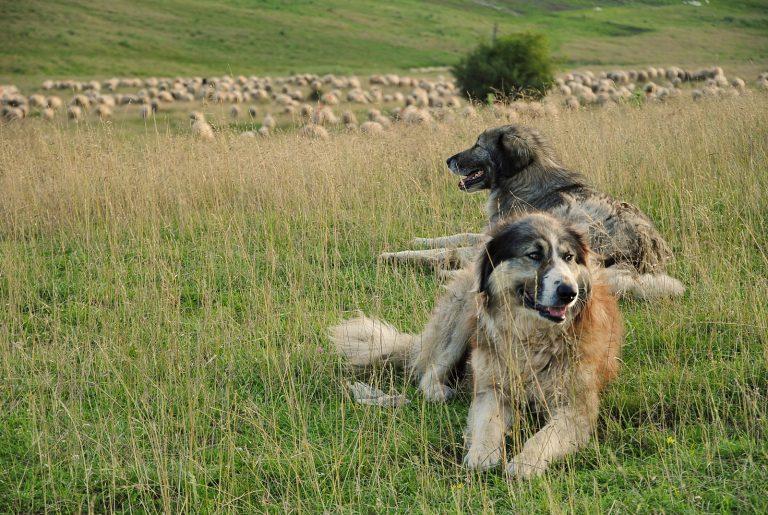 Nieuwe Roots-podcast: zo beschermen kuddebewakingshonden schapen