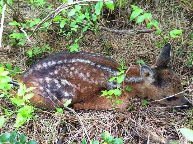 Van bambi tot ree