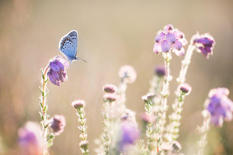 Wat maakt een dagvlinder kwetsbaar?