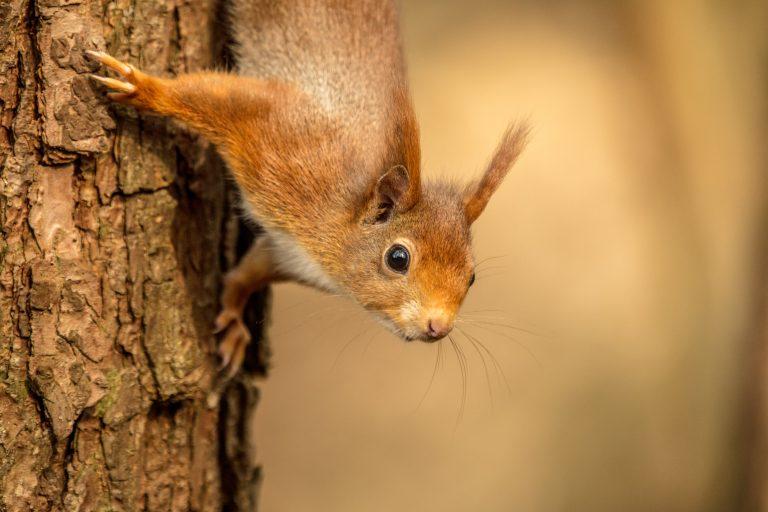 Meer eekhoorns te zien