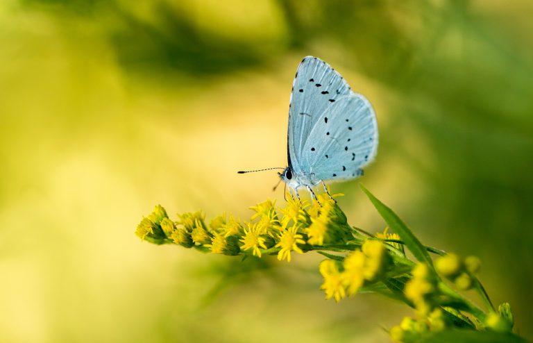 Hemelsblauw met polkadot stipjes: het boomblauwtje is er weer