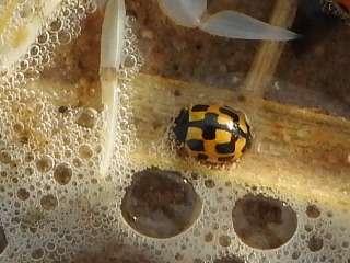 Lieveheersbeestjes invasie