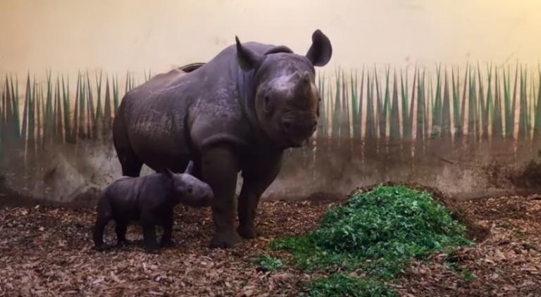 Babynieuws: zwart neushoorntje geboren in Blijdorp