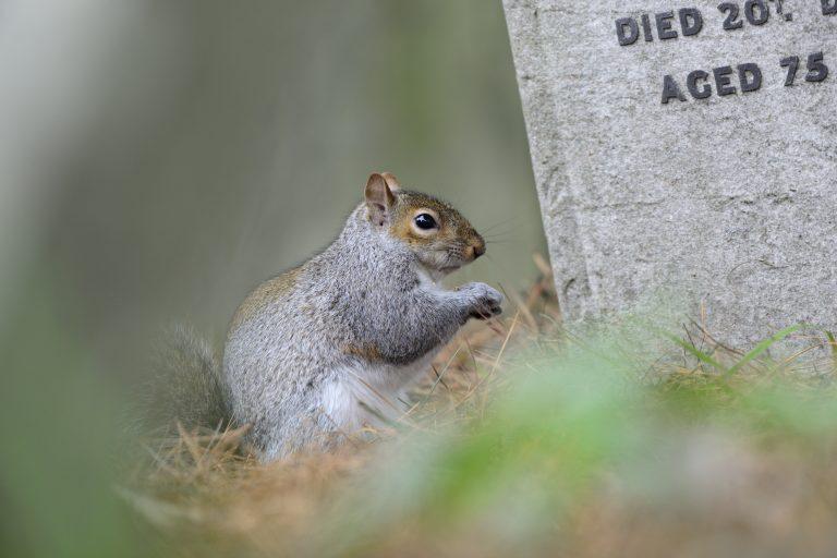 Grijze eekhoorn op begraafplaats