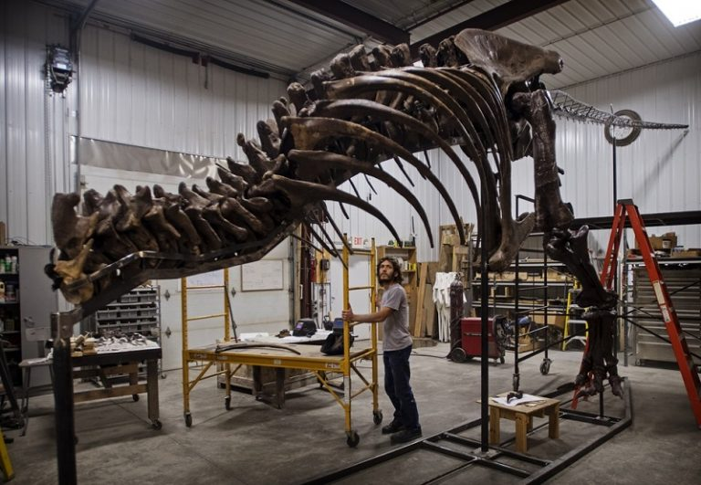 De T.rex eindelijk te zien in Nederland