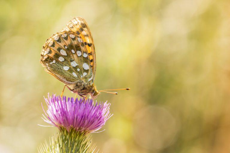 Zo fotografeer je een parelmoervlinder