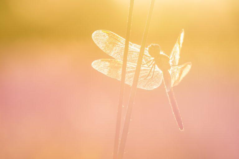 Zo fotografeer je libellen