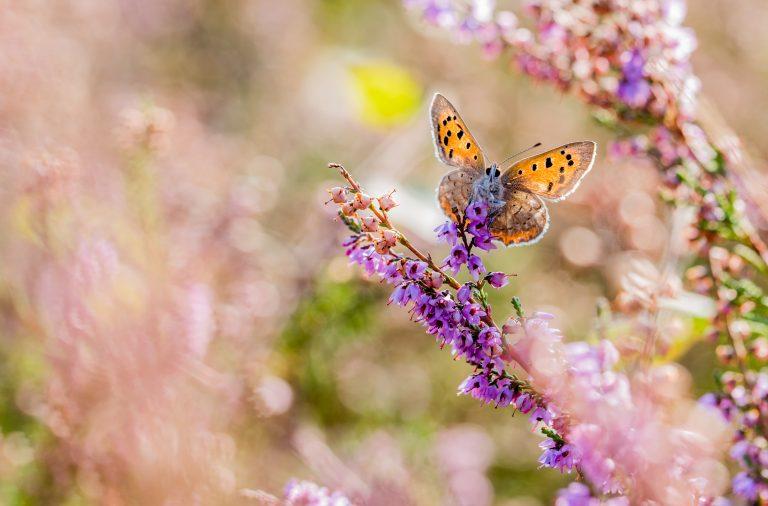 Zijn er vlinders die in drie generaties per jaar vliegen?