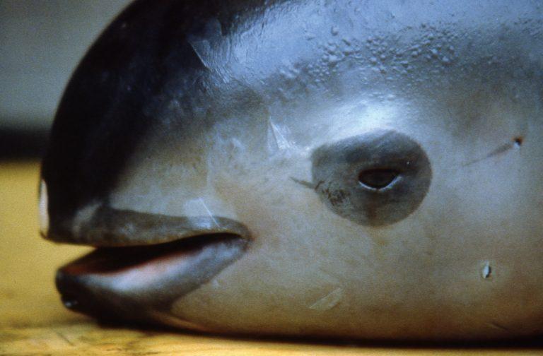 De vaquita, de panda van de zee