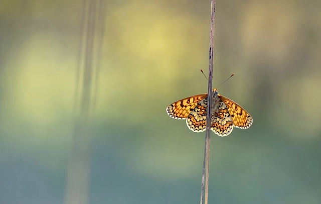 Veldparelmoervlinder in de ochtendzon