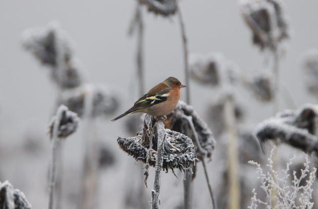 De 10 meest voorkomende vogels in Nederland