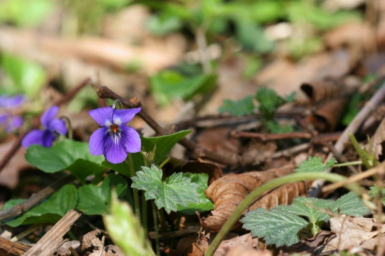 Frans Buissink over het maarts viooltje
