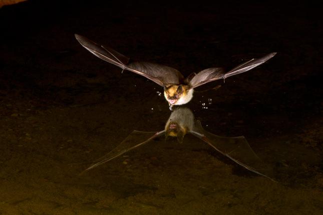 Vleermuisfoto Christian Biemans