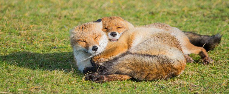 De vos krijgt nu weer zijn zomervacht