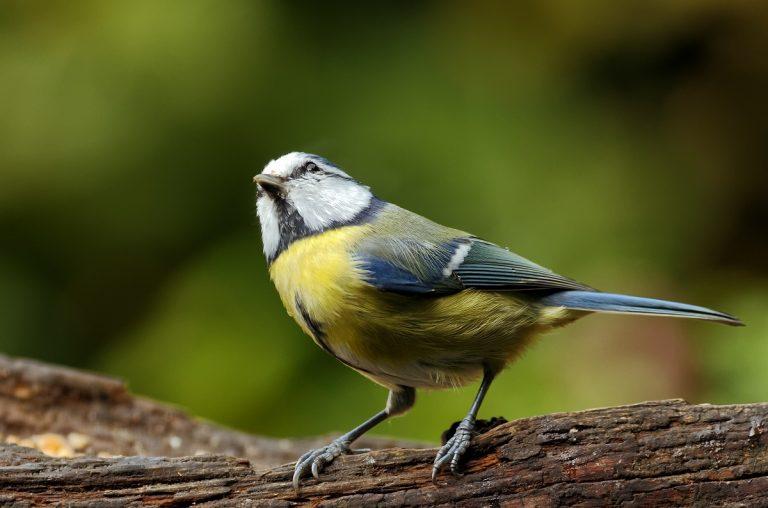 Nationale Tuinvogeltelling op 24, 25 en 26 januari