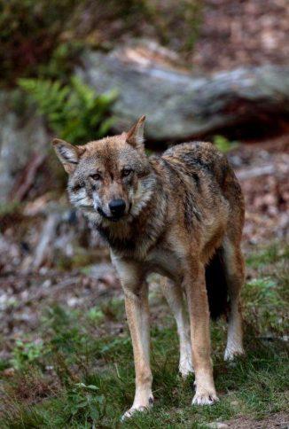 Door de ogen van de wolf