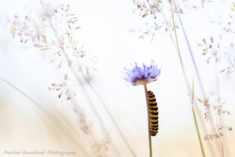 De rups van de Sint-jacobsvlinder, een zebra in de duinen