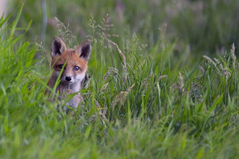Jong vosje in het gras