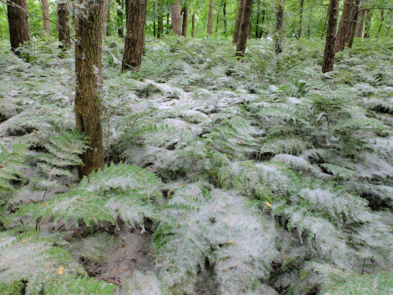 Zomersneeuw in het Voorsterbos