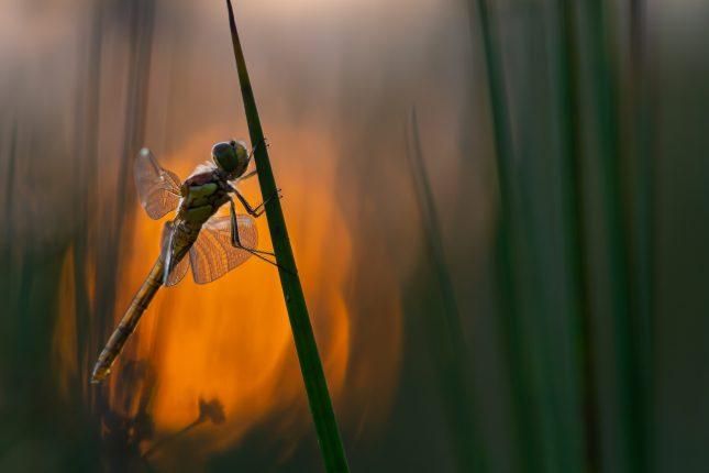 De libellen in Nederland