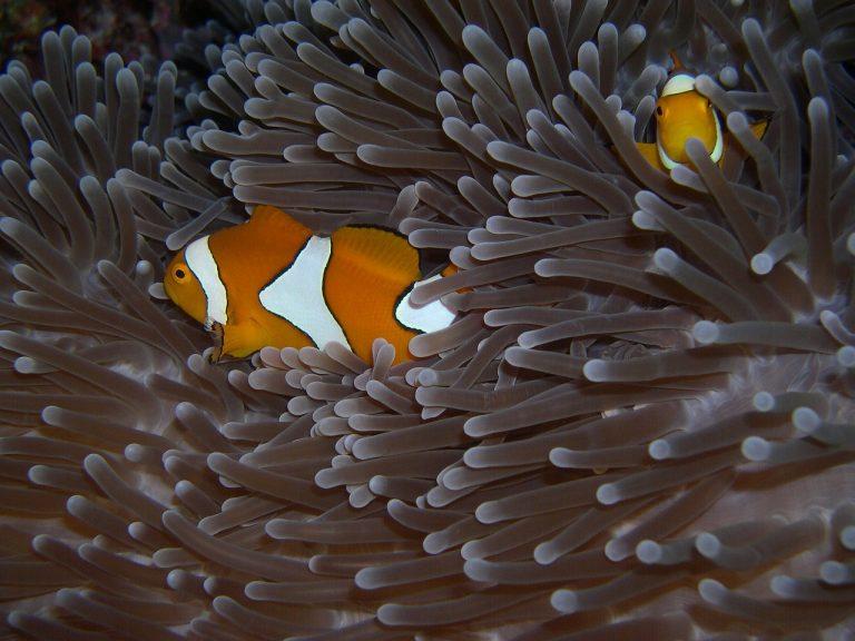 Hoe Nemo zijn vriendjes vindt: hij ziet ultraviolet licht