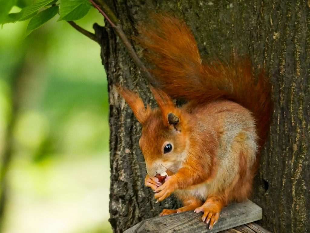 eekhoorn poot